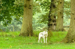 Lone Wolf in Forest Stock Images