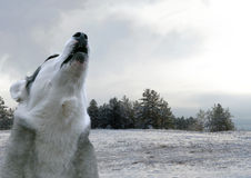Lone wolf howls Royalty Free Stock Photos