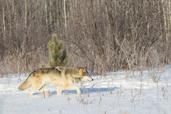 Lone wolf on hunt