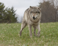 Lone Wolf in a Meadow Royalty Free Stock Photography