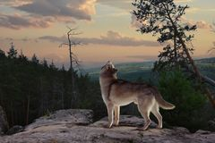 A lone wolf from the mountain sings his song stock photo
