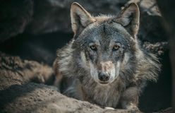 Lone wolf. Portrait of a lonely old wolf Stock Photo