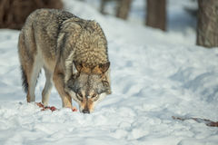 A Lone Wolf Royalty Free Stock Photography