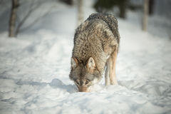 A Lone Wolf in Snow Royalty Free Stock Photos