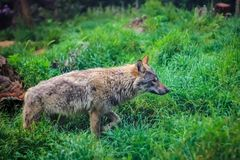 Lone wolf stock photography