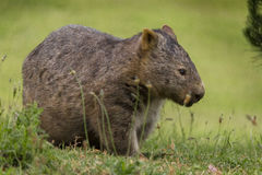 Lone wombat foraging Royalty Free Stock Image