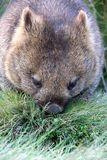Lone wombat having dinner in Cradle mountain nat ional park Royalty Free Stock Images