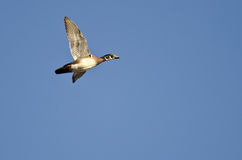 Lone Wood Duck Flying in a Blue Sky. Lone Wood Duck Flying in a Clear Blue Sky Stock Image