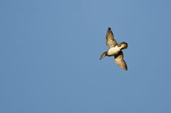 Lone Wood Duck Flying in a Blue Sky Royalty Free Stock Image