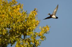 Lone Wood Duck Flying Past an Autumn Tree. Lone Wood Duck Flying Past a Golden Autumn Tree Royalty Free Stock Image