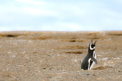Lone yelling penguin - Magdalena Island - Chile Royalty Free Stock Images