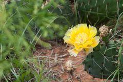 A lone yellow cactus flower royalty free stock photos