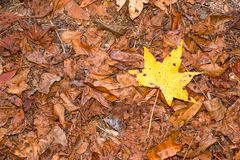 Lone Yellow Fall Leaf Royalty Free Stock Photography