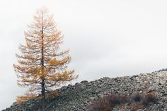 Lone yellow larch tree. On the mountain royalty free stock photography