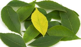 Lone Yellow Leaf Among Greens (centered) Royalty Free Stock Image