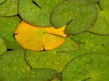 Lone yellow lily pad. One yellow lily pad in a sea of green ones royalty free stock image