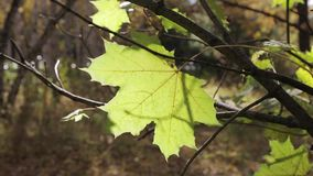 A lone yellow maple leaf on a branch swings in the wind stock video