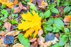 A lone yellow red maple leaf among the fallen leaves in forest Royalty Free Stock Photos