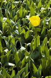 Lone yellow tulip Stock Images