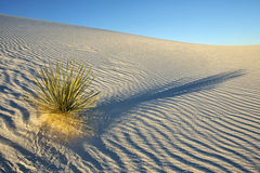 Lone Yucca plant in white sands desert Stock Photo