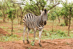 Lone zebra in the African bush stock image