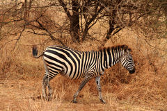 Lone Zebra in the bush. Lone zebra (equus quagga) walking through the African Bush stock photos