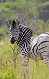 Lone zebra looking back Royalty Free Stock Photography
