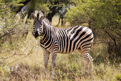 Lone zebra standing in the African bush. Lone zebra grazing in the African bush Royalty Free Stock Photos
