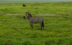 Lone zebra on the savannah. A lone zebra standing on the savannah and gazing out over the savannah royalty free stock photos