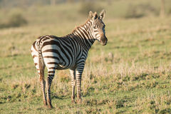 Lone Zebra at Sunset. In the plains of Africa Stock Photography