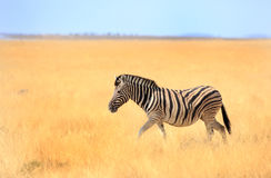 A lone zebra walking through the Etosha Pan royalty free stock image