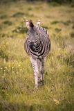 A lone zebra walks through tall grass toward the camera stock images