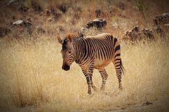 The lone zebra. Wandering zebra on safari Royalty Free Stock Photo