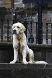 Loneliness. A waiting scene of a dog Stock Images