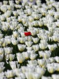 Loneliness. Lonely red flower in the field Royalty Free Stock Photos