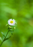Loneliness in chamomile family Royalty Free Stock Image