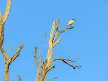 Loneliness. Lonely White ibis in the tree Stock Photo
