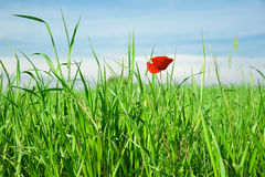 Loneliness of the poppy flower Royalty Free Stock Photography