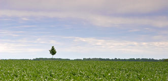 Lonely. Tree in the midst of a field of maize Stock Photography