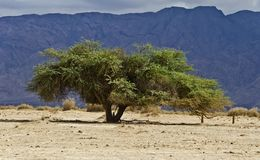 Lonely acacia in desert of the Negev, Israel Royalty Free Stock Photography