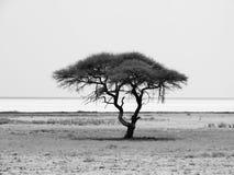 Lonely acacia tree in Etosha National Park Royalty Free Stock Photography