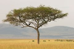 Lonely acacia tree, Masai Mara, Kenya stock images