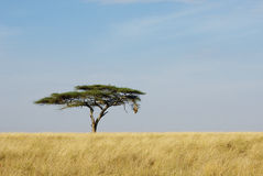 Lonely acacia tree in Serengeti Stock Photos