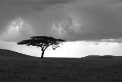 Lonely acacia tree in Serengeti in black and white Royalty Free Stock Image