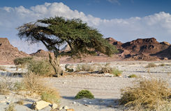 Lonely acacia tree in stone desert of the Negev, Israel Royalty Free Stock Images