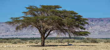 Lonely acacia tree and wild antelope Oryx in nature reserve near Eilat Royalty Free Stock Photography