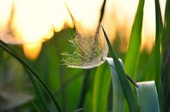 Lonely achene dandelion on background of sunset. Stock Image
