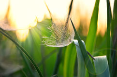 Lonely achene dandelion on background of sunset. Stock Images