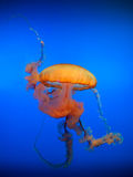 Lonely the adult sea jellyfish poisonous tentacles floats in water Royalty Free Stock Images