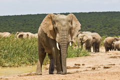 Lonely African elephant at a waterhole Stock Images